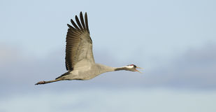 Common crane in flight Stock Images