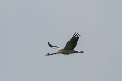 Common crane in flight Royalty Free Stock Images