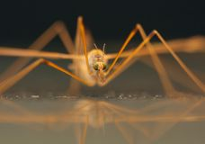 Common crane fly Stock Photos