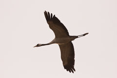 Common crane flying over Royalty Free Stock Photography