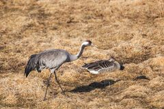 Common Crane and Greylag Goose Royalty Free Stock Photography