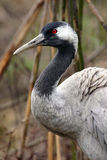 Common Crane (Grus grus) Stock Photos