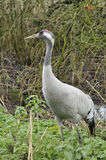 Common Crane - Grus grus Royalty Free Stock Photography