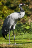 Common Crane (Grus grus) Stock Image