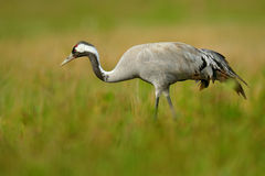 Common Crane, Grus grus, big bird in the nature habitat, Lake Hornborga, Sweden. Crane in the green grass. Wildlife scene from Eur. Ope Royalty Free Stock Photo