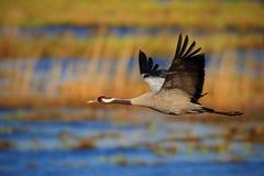 Common Crane, Grus grus, flying big bird in the nature habitat, Germany royalty free stock image
