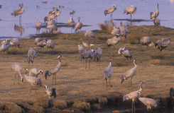 Common crane, Grus grus Royalty Free Stock Photography