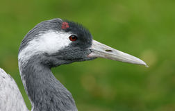 Common crane, Grus grus Stock Images