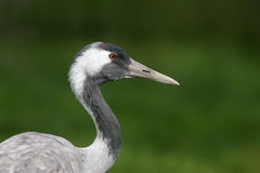 Common crane, Grus grus Royalty Free Stock Images