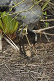 Common Crane - Grus grus Stock Images