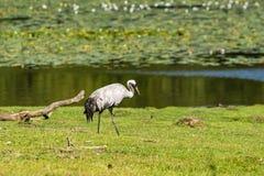 Common crane (Grus grus) Royalty Free Stock Photo