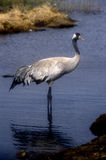 Common crane, Grus grus Stock Image