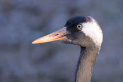 Common Crane head Stock Image