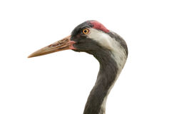Common Crane Isolated Stock Photo
