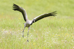 Common crane Stock Photos