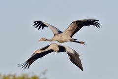 Common crane Royalty Free Stock Photo