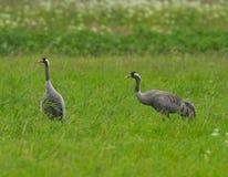 Common crane with juvenile Stock Photos