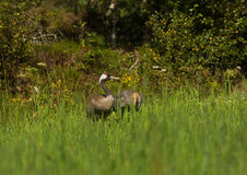 Common crane with juvenile Stock Photography