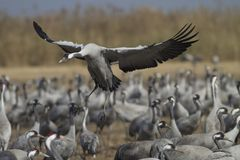 Common crane landing royalty free stock image