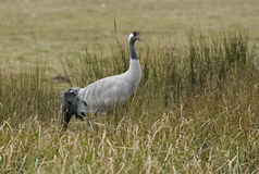 Common Crane Royalty Free Stock Images