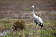 Common crane in natural habitat (grus grus) Royalty Free Stock Photography