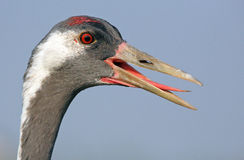 Common Crane portrait. The picture was taken form a hide in Hungary Royalty Free Stock Images