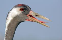 Common Crane portrait Royalty Free Stock Images