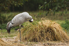 Common crane preening Stock Photo