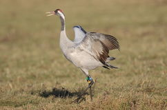 Common Crane. At Slimbridge WWT Stock Images