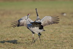 Common Crane. At Slimbridge WWT Royalty Free Stock Image