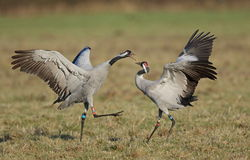 Common Crane. At Slimbridge WWT Stock Photos