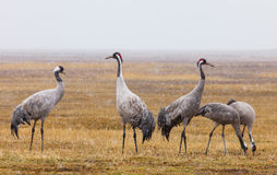 Common crane snowing, latin: grus grus Royalty Free Stock Photography