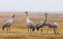 Common crane snowing, latin: grus grus Royalty Free Stock Photography