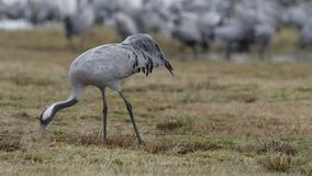 Common crane stock video