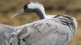 Common crane stock video footage