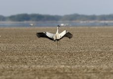 Common Crane taking off in desert. Royalty Free Stock Photography