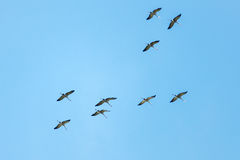 Common Crane up in the air Royalty Free Stock Photography