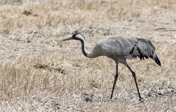 Common Crane. Walking in a field Stock Images