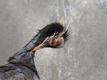 Common Crane after water bath Royalty Free Stock Image