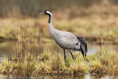 Common crane. In a wetland at a stopover site Royalty Free Stock Photo
