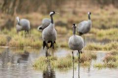 Common crane Royalty Free Stock Photos