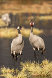 Common crane Royalty Free Stock Photography