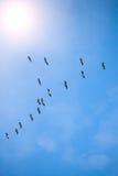 Common cranes Stock Image