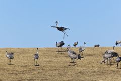 Common Cranes Stock Images