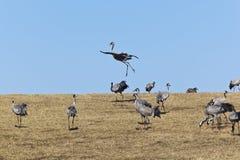 Common Cranes Stock Images