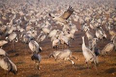 Common cranes. Many Common cranes , Grus grus royalty free stock photo