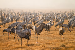 Common cranes Royalty Free Stock Photo