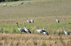 Common cranes. A flock of common cranes, grus grus on a field Stock Photos