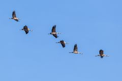 Common Cranes Royalty Free Stock Photography