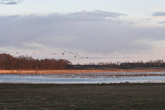 Common Cranes arriving to Sweden. Common Cranes arriving in Spring to Pulken, Skåne, Sweden Royalty Free Stock Photography